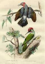 Old bird print Picidae woodpecker specht Buffon 1856