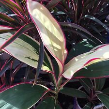 JOHN KLASS Cordyline fruticosa colourful foliage tropical plant in 140mm pot