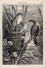 OLD ANTIQUE RSPCA MAGAZINE 1889 PRINT BIRDS AND CHICKS NESTING IN THE RUSHES b14