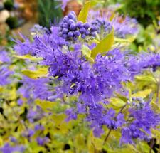Caryopteris clandonensis 'Worcester Gold' Large Plug Plants x 3 Flowering Shrub