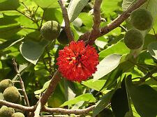 Papel de morera Broussonetia papyrifera Raro tropical Hardy árbol! crecer de papel