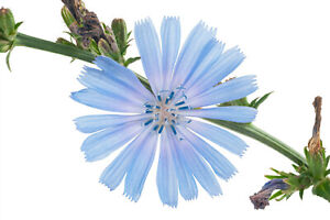 1000+ Chicory Seeds   Blue Dandelion   Perennial Medicinal Herb & Coffee Subst.