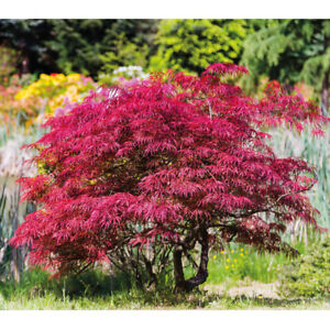 T&M Japanese Acer Maple Tree Palmatum Hardy in 7cm, 10cm, 3L & 3.5L Nursery Pots