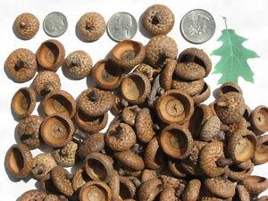 100 ASSORTED Red Oak Acorn caps. Dried, Clean, Grade A. Crafts, DIY, Decorative.