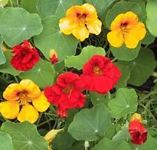 FLOWER  NASTURTIUM  TROPAEOLUM JEWEL MIX  150 FINEST SEEDS