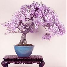 lilac mini bonsai wisteria tree seed Indoor ornamental plants 10 particles