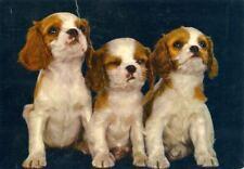 Unusual Oversize Cavalier King Charles Spaniel Dog Postcard Netherlands c1970