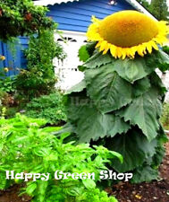 SUNFLOWER MONGOLIAN GIANT - 30 seeds - Helianthus annuus tall - TALLEST FLOWER