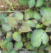 30 Green Purple Perilla Seeds Perilla Frutescens Common Perilla Organic