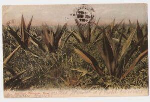 SOUTH AFRICA 16-AN ALOE PLANTATION NATAL (1912)
