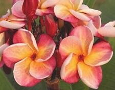 """5 Fresh Seeds Frangipani PLUMERIA RUBRA """"Texas Aggie"""""""