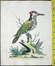 Edwards,Natural History,Spotted Indian Woodpecker,handc.Eng.ca. 17450#182