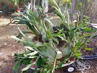 Staghorn Fern spore Platycerium colonarium 4000 spore # 3