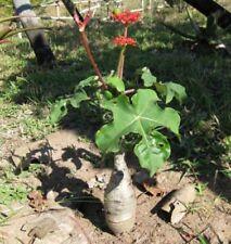 10 graines JATROPHA PODAGRICA très rare BUDDHA Belly Succulent Plant Fresh viable