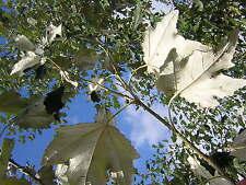 POPULUS ALBA vq Álamo blanco White árbol con los de rapid crecimiento