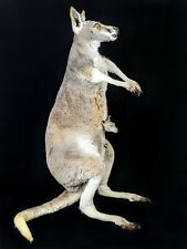 Br Taxidermy Oddities Curiosities Real Kangaroo w/ Joey in Pouch collectible
