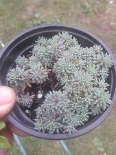 New listing sedum hispanicum ' blue carpet'