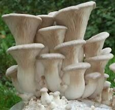 KING OYSTER mushroom Pleurotus eryngii mycelium plugs spawn 4 dowels $4.90 ..