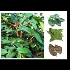 1 oz Dried daun  Salam Indonesian Bay Leaf