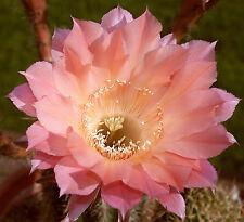 AURORA - Paramount Echinopsis Hybrid Cactus Plant