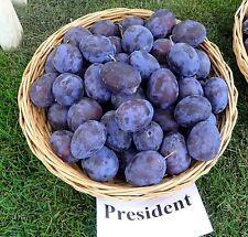 "Honey  Blue plum  "" President  "" - one of the sweetest - 5   fresh cuttings"