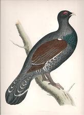 1855 Bird original print Capercaille Beverley R. Morris