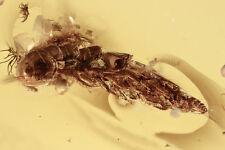 Silk Millipede Rare Chordeumatidae Inclusion Baltic Amber + Hq Picture