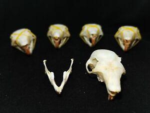 5pcs Real Animal skulls, Animal specimens, Halloween Gift Crafts skulls/15