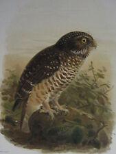 c1880 PRINT KEULEMANS MADAGASCAR ~ WHITE-BROWNED OWL