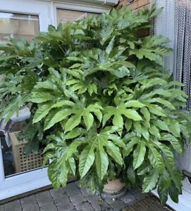 Japonica Fatsia Japanese 3L Pot Giant Leaves like Gunnera Delivered to your door