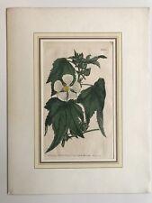 Hand Colored Copperplate Francis Sansom - Sydenham Edwards - Botany Anemone?