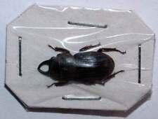 AEGUS CERAMENSIS - unmounted beetle