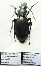 Carabus mesocarabus lusitanicus asturicus (female A1) from SPAIN