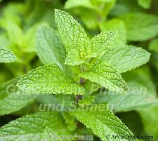 Spearmint Mentha spicata 50 graines réel POIVRÉE Plante Aromatique Herbes