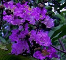 35+ Crape Myrtle Tree Seeds /  Perennial / Purple