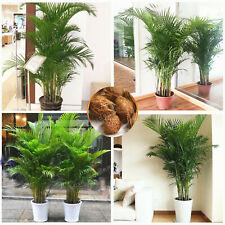 Chrysalidocarpus Lutescens Decoration Seeds Plants Areca Palm Indoor Home 5pcs