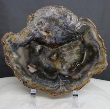 "8.3"" Rare Green Color Petrified Wood Slab Arakaria Fossil Wood Slab, Ptw47"