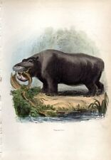 1851 CUVIER HC ENGRAVING hippo