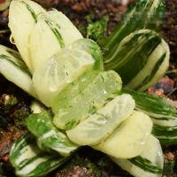 Haworthia truncata Schoenl.'Green' Schonl Succulent plants potted Plants