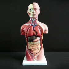 Human 42cm Male Torso Anatomical Model Skeleton - Medical Anatomy