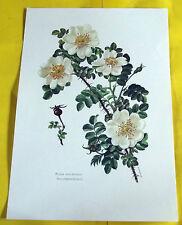 Lámina De Educativo Cartel Poster Art Print Rosa Muy Espinoso N º 68 fl2