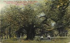 1910 The Largest Tree In The State, Superior, Nebraska Postcard