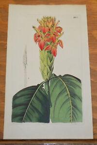 1845 Antique COLOR Floral Print///ORANGE APHELANDRA EVERGREEN SHRUB, or, APHELAN
