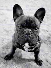 FRENCH BULLDOG DOG PUPPY BLACK WHITE PHOTO ART PRINT POSTER PICTURE BMP1880B