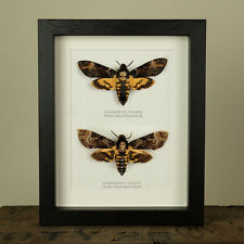 Atropos vs. Lachesis Deaths Head Hawk Moth in Box Frame
