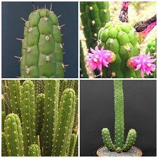 10 semi di Clistanthocereus samnensis ,piante grasse,seeds cactus