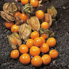 VEGETABLE  CAPE GOOSEBERRY (PHYSALIS PERUVIANA)  0.3 GRAM ~ 290 SEEDS