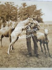 1920's Rocky Mountan Sheep Banff National Park Photograph Original Kilroy Harris