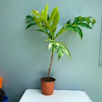 GRAFTED BREADFRUIT Live Tree (panapen) Variety. Big tree CERTIFIED BY USDA