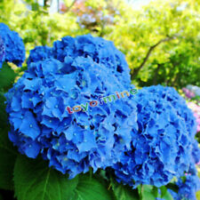 50pcs Garden Potted Blue Hydrangea Flower Seeds Flower Plant Rare Seeds